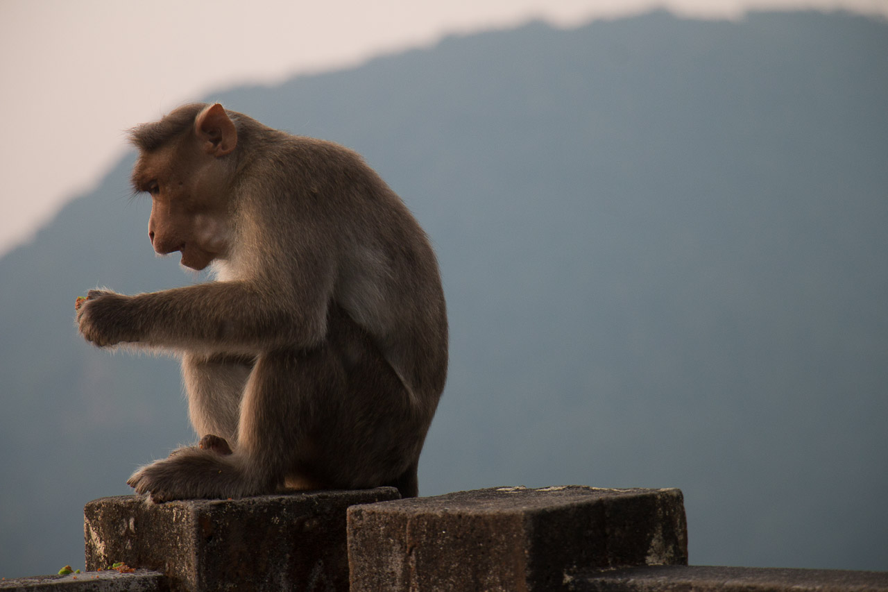 Monkey at Sunset Point