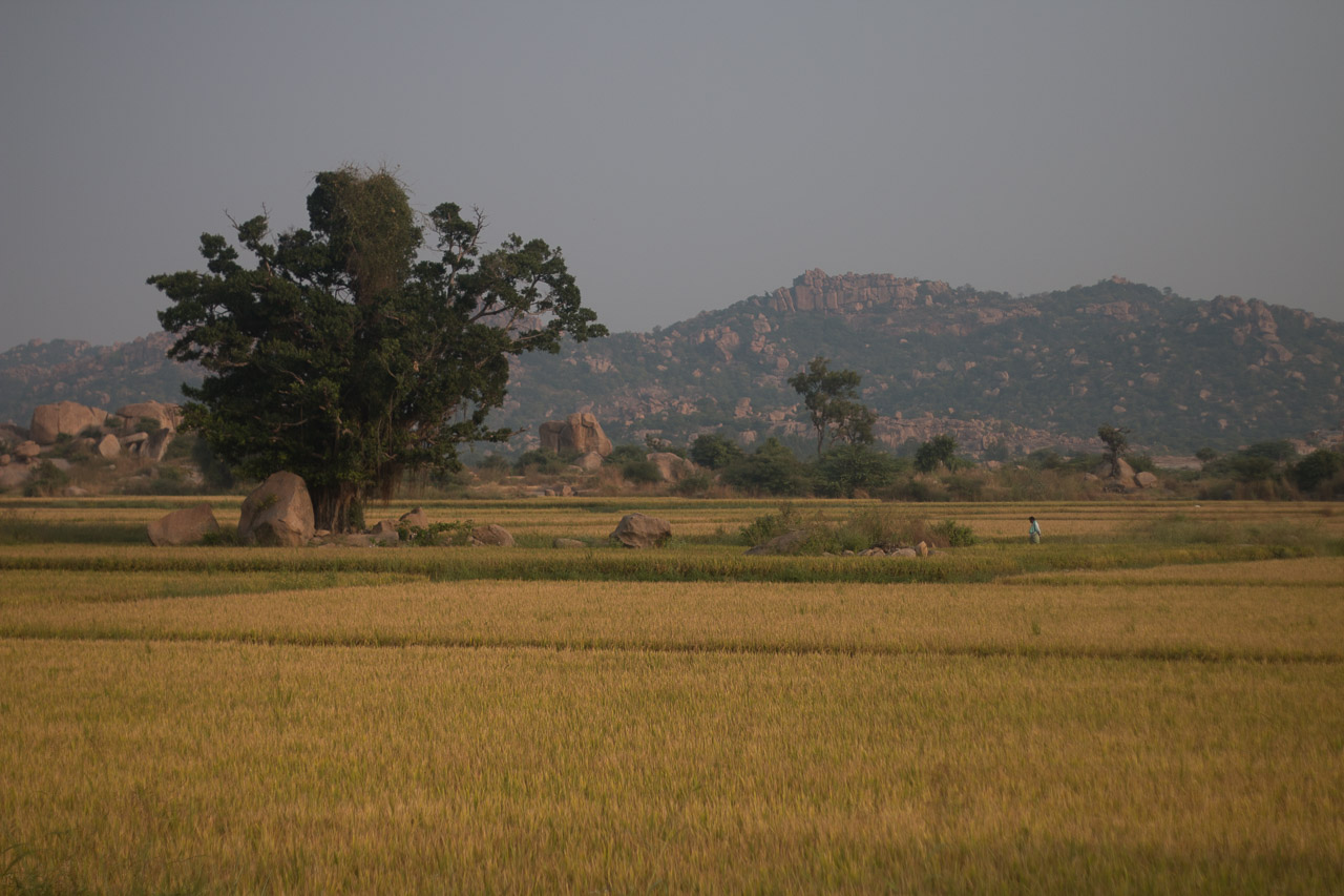 Paddy fields in Hampi